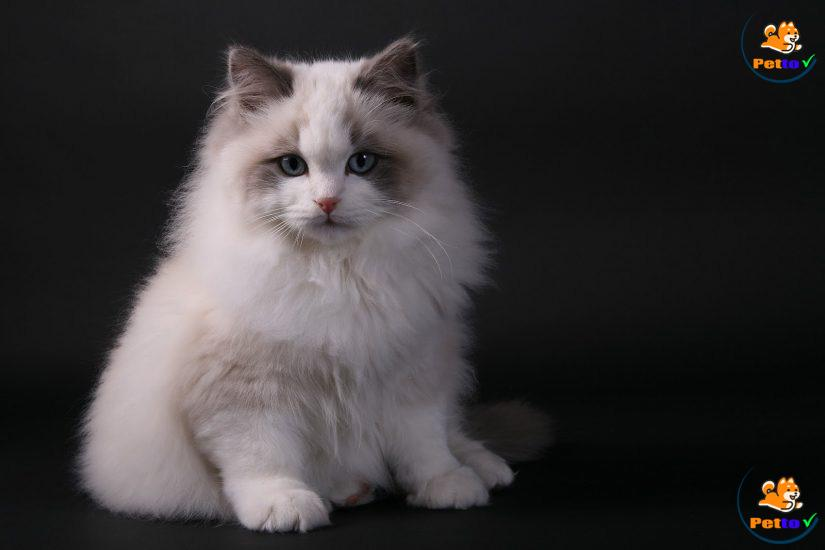 Vẻ đẹp không thể cưỡng lại của mèo ragoll