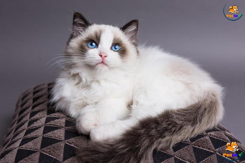 Mèo Ragdoll - Loài Mèo Đẹp Lung Linh