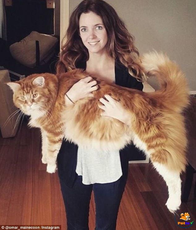 Con mèo lớn nhất thế giới
