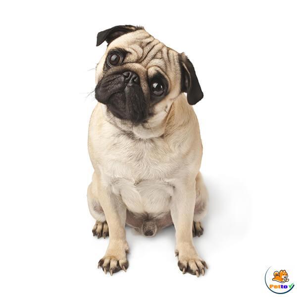 Chó Bug là giống chó cảnh được nhiều người ưu thích