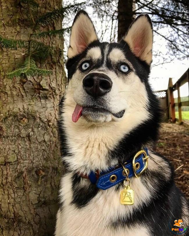 Gương mặt ngáo ngơ của chó Husky
