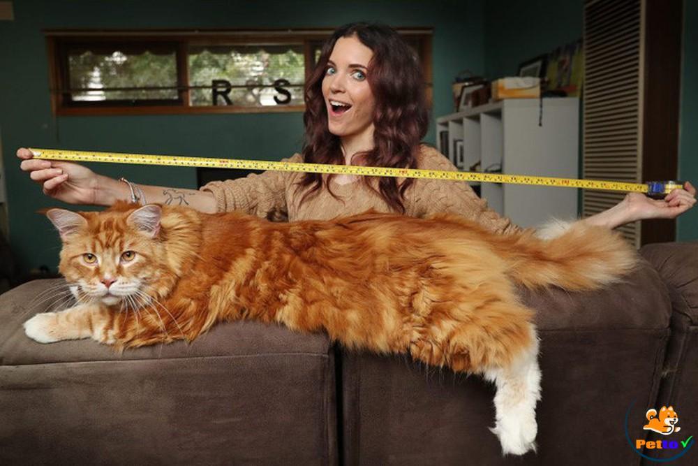 Chú mèo dài 1,2m lớn nhất thế giới