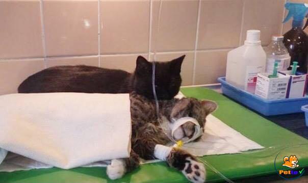 Mèo y tá giúp đỡ bạn