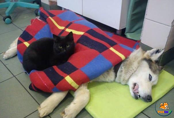 Mèo Radamenes chăm sóc các động vật