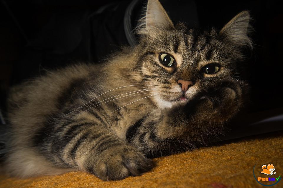 Mèo Na Uy có giá bao nhiêu?