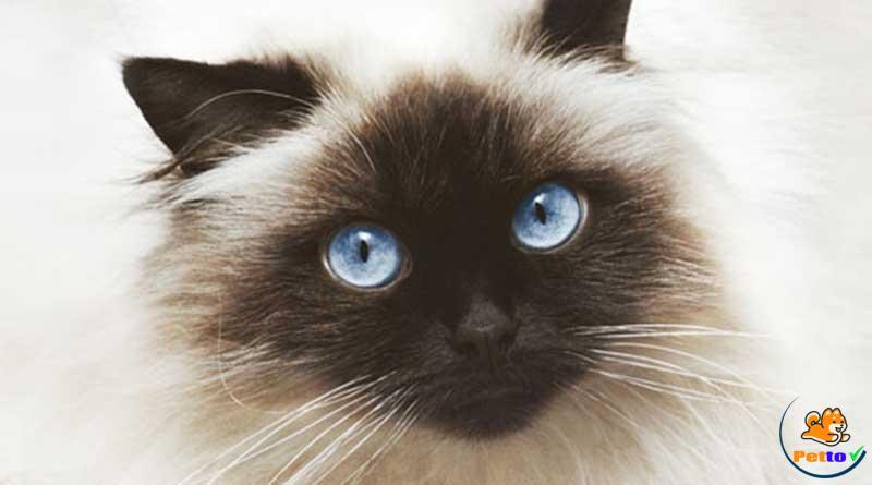 Vẻ đẹp của mèo Himalaya