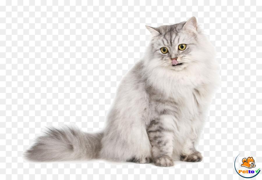 Đặc điểm tính cách của Norwegian Forest Cat