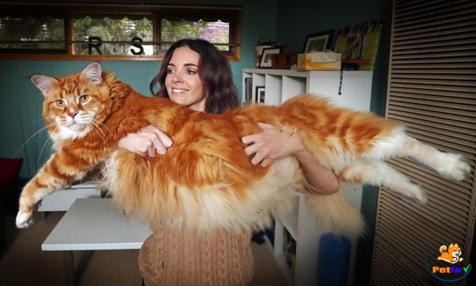 Chú mèo Omar được cho là lớn nhất