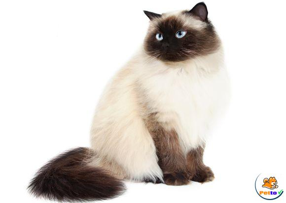 Cách chăm sóc bộ lông cho mèo himalaya