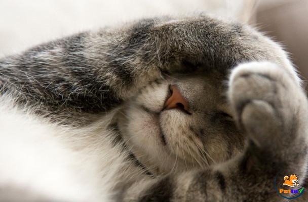 Mèo thường khó chịu hay trầm cảm buồn rầu - dấu hiệu sảy thai ở mèo