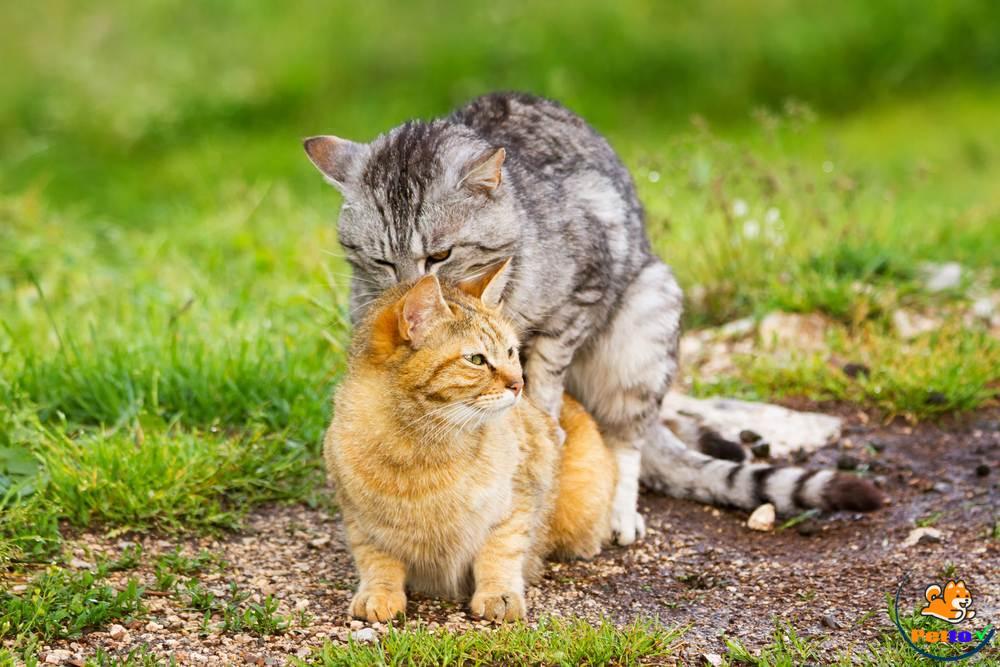 Mèo từ 6 tháng tuổi đã bắt đầu động dục và có khả năng làm mẹ - Dấu hiệu mèo mang thai