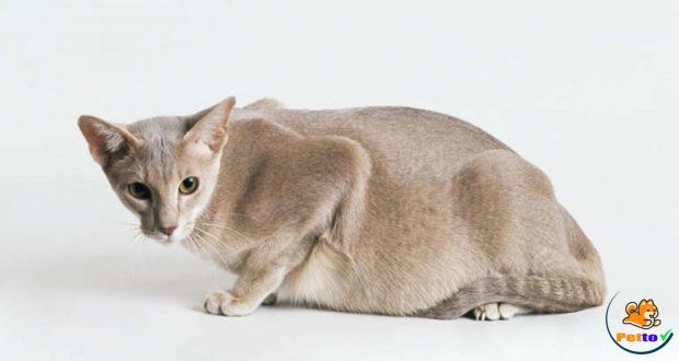 Khi mang thai mèo luôn kêu gào thảm thiết