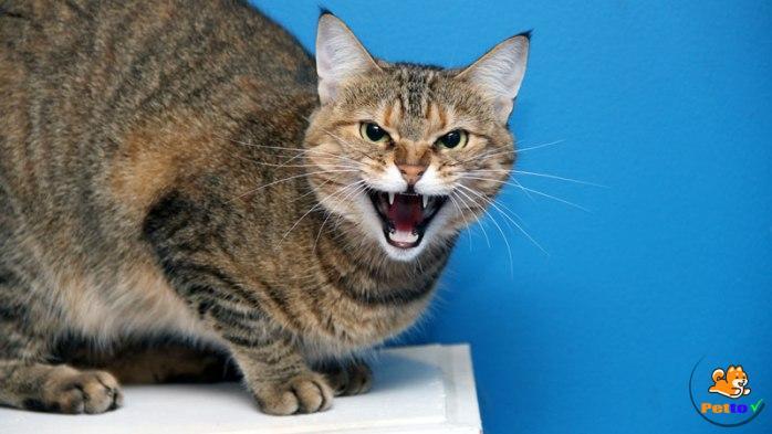 Mèo mang thai hay cáo - dấu hiệu mèo sảy thai