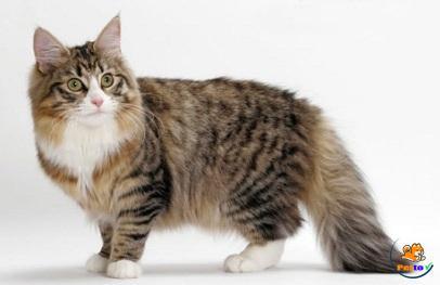 Vẻ đẹp của mèo Na Uy