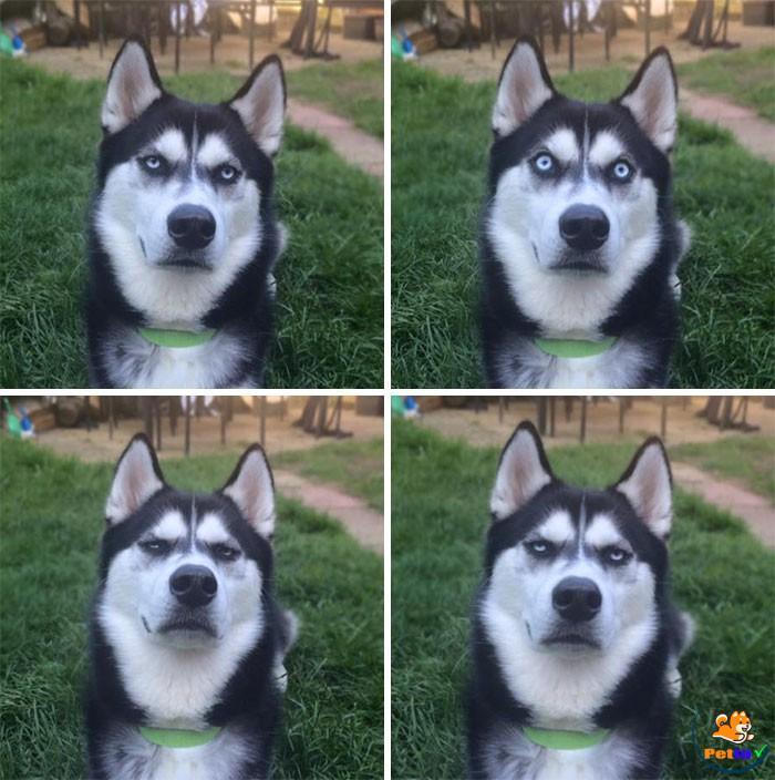 Husky ngáo ngơ khi bị chụp hình lén