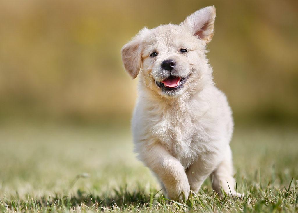 Chăm sóc lông chó Golden