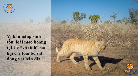 Mèo hoang tại Úc