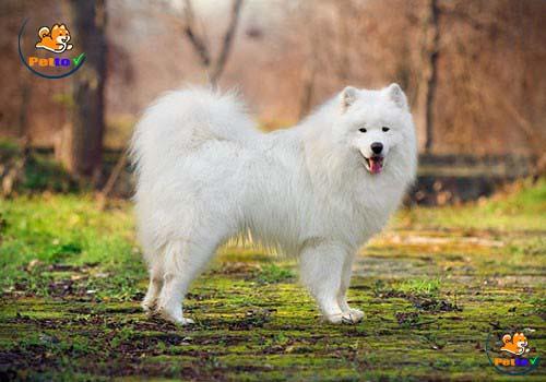 Bộ lông trắng muốt góp phần trang nhã cho giống chó vùng Siberia
