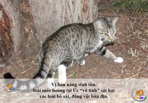Mèo hoang trong một cuộc săn mồi