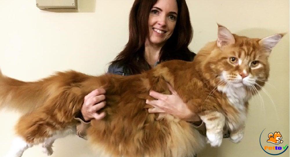 Giống mèo Maine Coon khổng lồ nhất thế giới