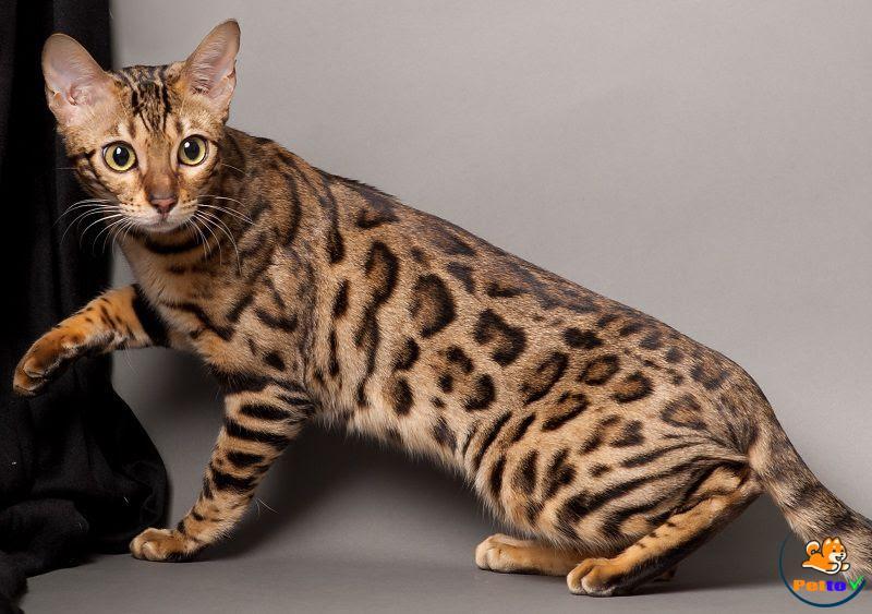 Vẻ đẹp không thể cưỡng lại của mèo Bengal