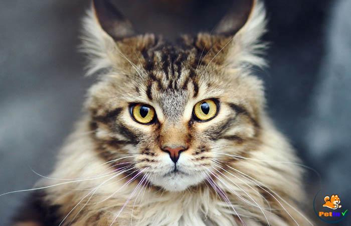 Mèo mỹ lông dài cũng rất thông minh và có tính tự lập cao