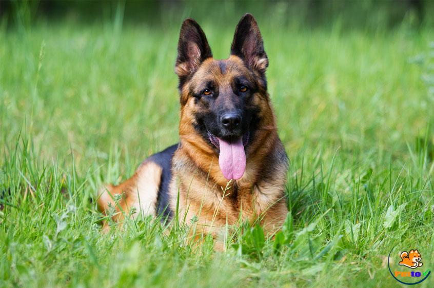 Chó chăn cừu có thân hình to khỏe, cơ bắp mạnh mẽ và nhìn rất thanh thoát
