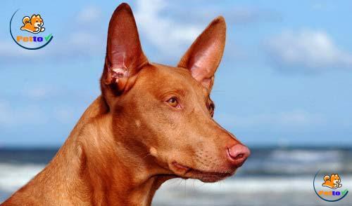Khi bị kích động, tai và mũi chuyển sang màu đỏ hồng sẫm.