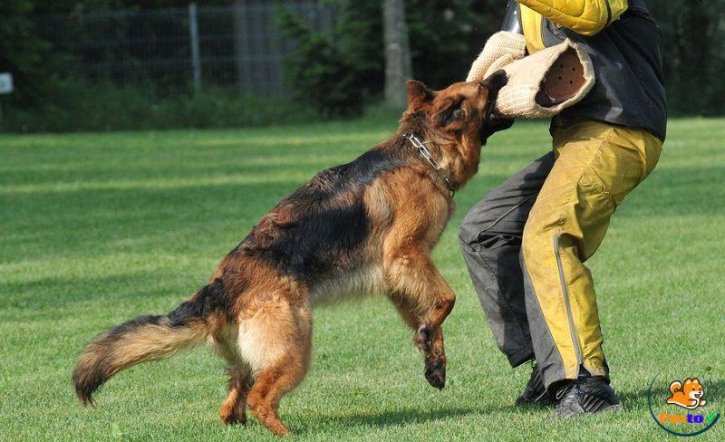 Chó Becgie là giống chó thông minh thứ 3 trong tất cả các giống chó