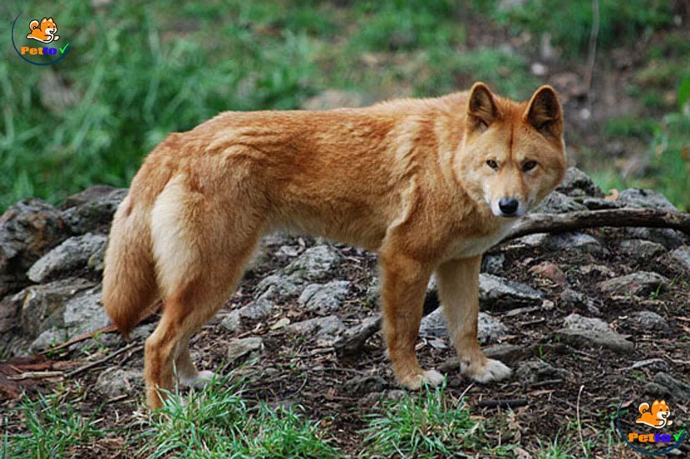 Nhiều người sẽ lầm tưởng đây là một con sói, nó là chó Dingo Đông Dương, là một dạng sói Việt Nam