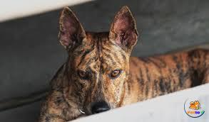 Giống chó Phú Quốc được nhiều người săn đón