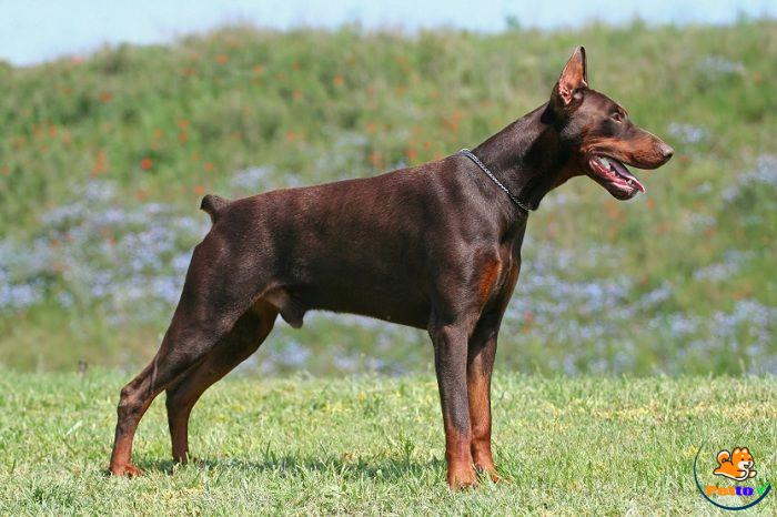 Những Đặc Điểm Thú Vị Của Chó Doberman