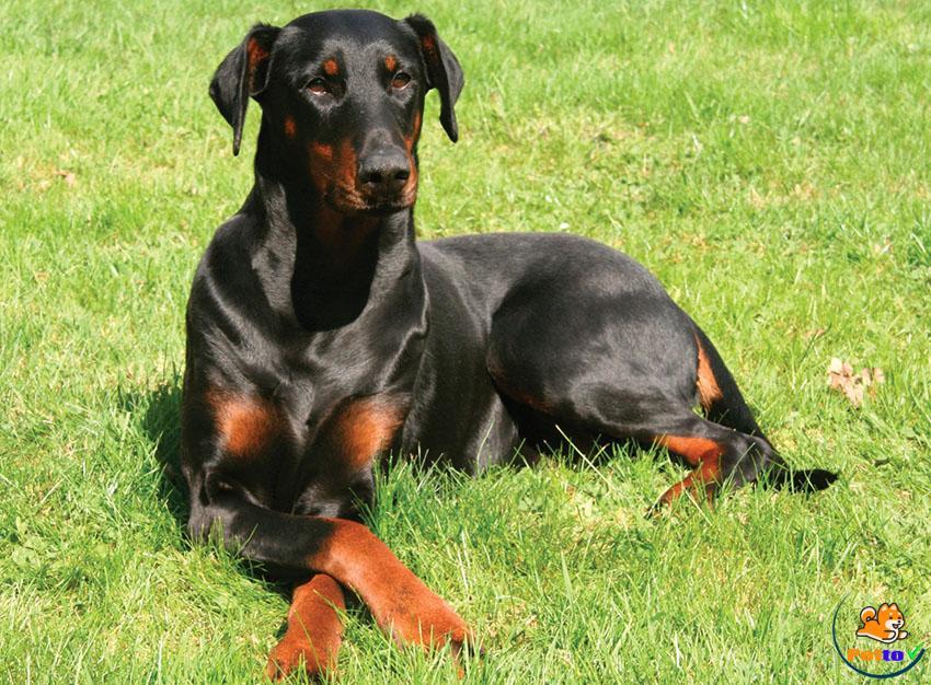 Những Đặc Điểm Thú Vị Của Chó Dobie