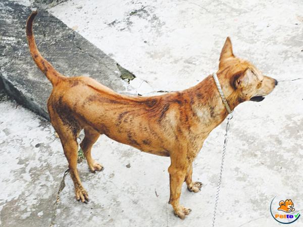 Giống chó Phú Quốc màu vện cọp