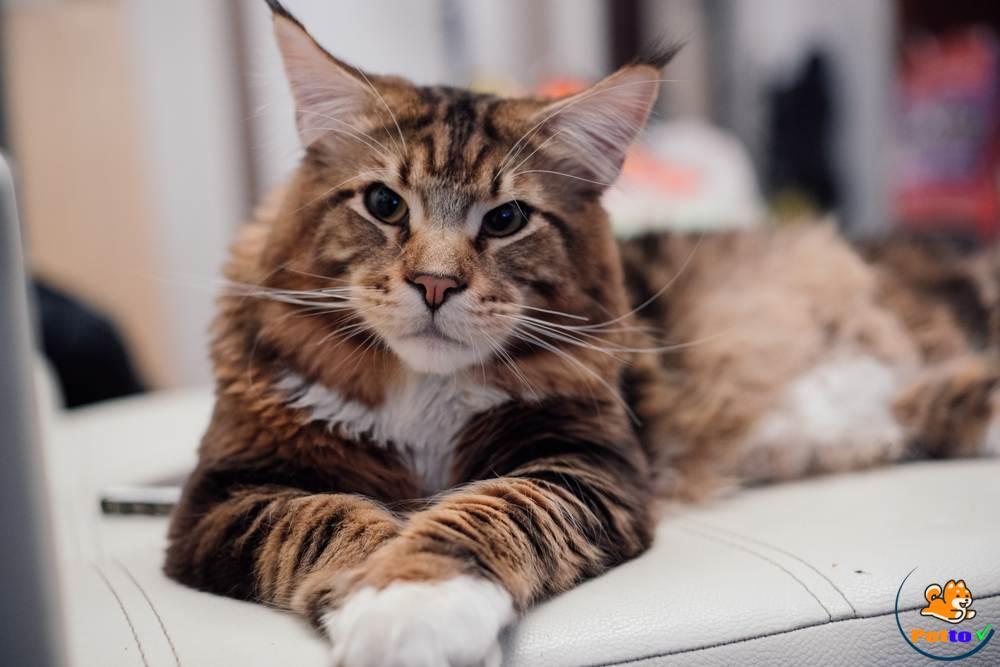 Đặc điểm tính cách của mèo mỹ lông dài
