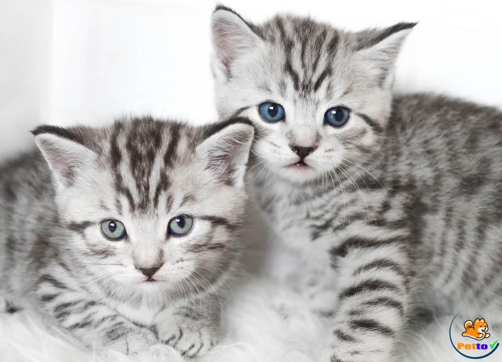 American Shorthair là loại mèo rất nổi tiếng trên toàn thế giới