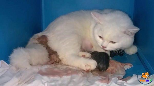 Mèo khi sắp sinh luôn tìm chỗ kín đáo đễ ẩn nấp