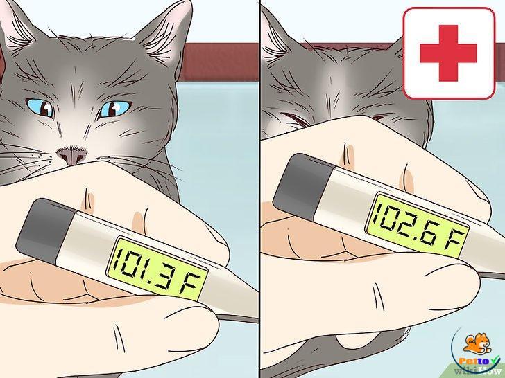 Thân nhiệt cơ thể của mèo sắp sinh giảm 1- 2 độ C
