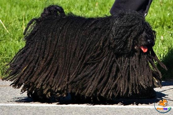 Giống chó Puli với bộ lông bện tự nhiên