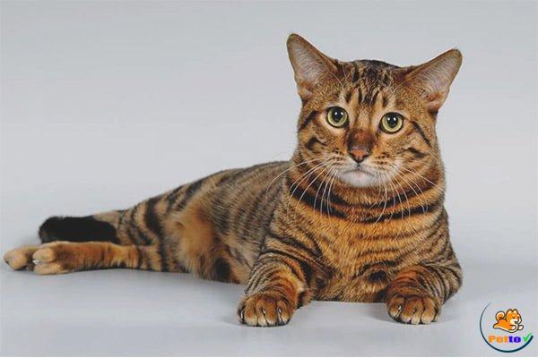 Vẻ đẹp của mèo Toyger