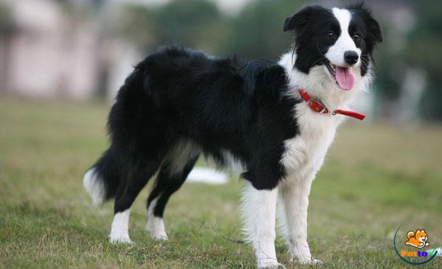 Collie biên giới là một giống chó lao động nên cơ thể tràn đầy năng lượng