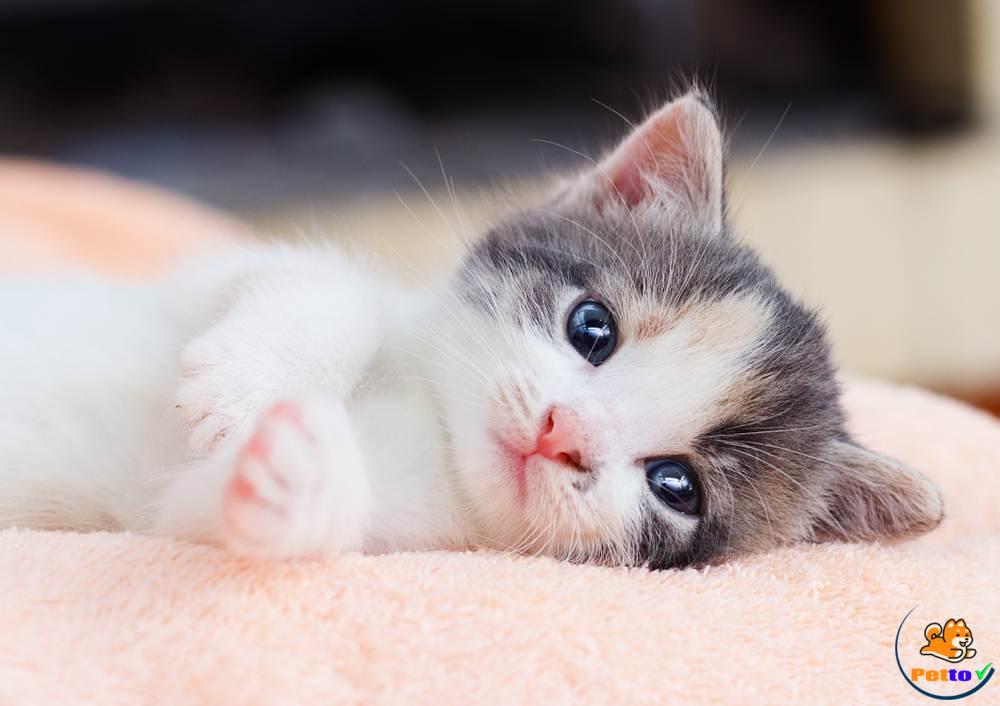 Cách chăm sóc mèo con sau khi sinh?