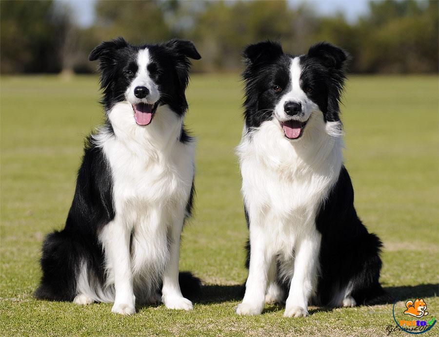 Nguồn gốc lịch của chó Collie