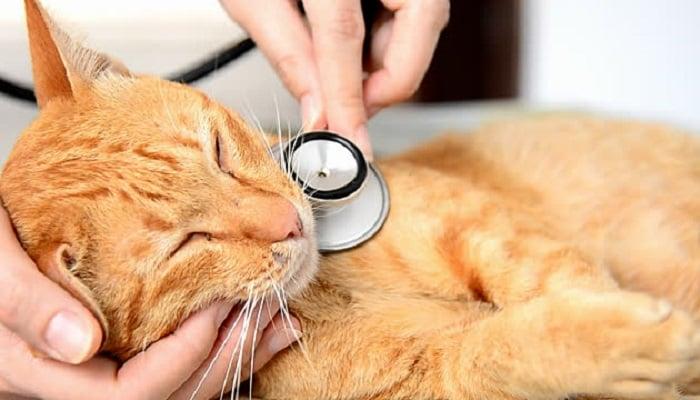 Mèo bị bệnh nấm nên đưa ra phòng thú ý xét nghiệm hoặc soi trên kính hiển vi để chẩn đoán chính xác hơn.