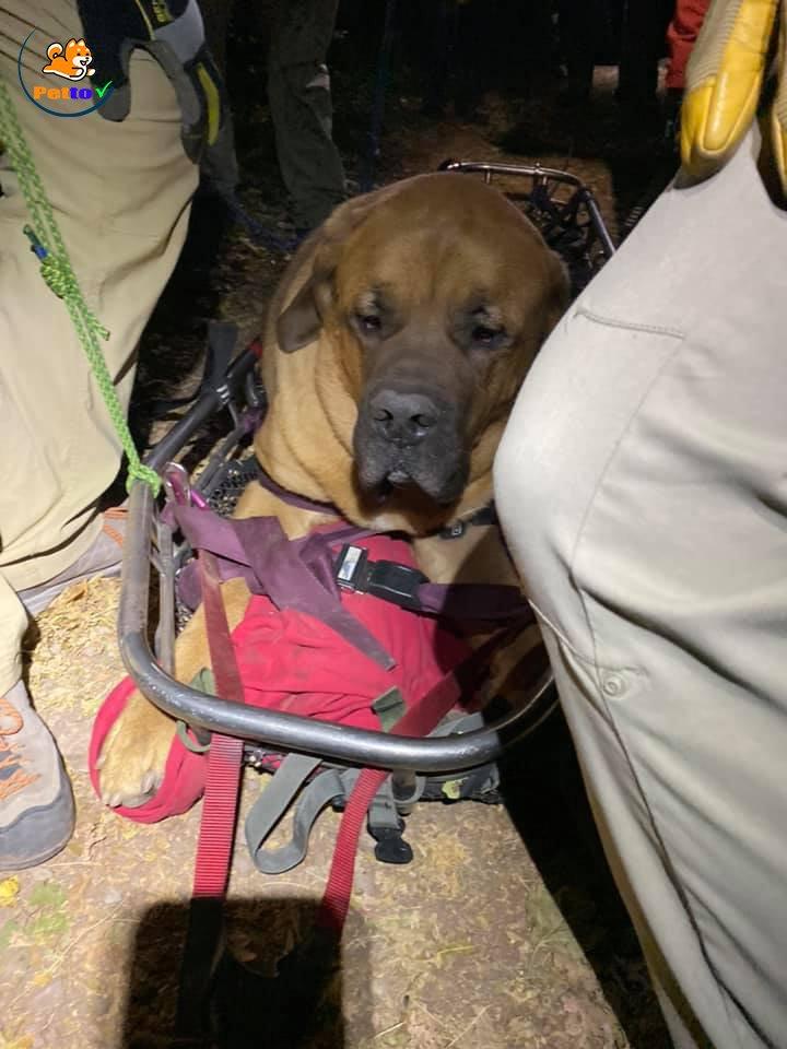 Vẻ mặt bất lực của chú chó ngao khi bị kẹt trên núi vì cân nặng 86kg