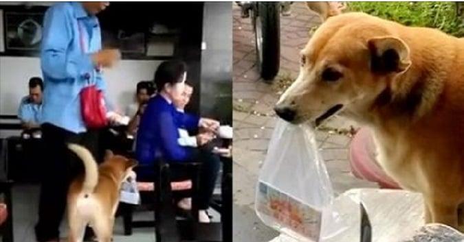 Đặc biệt, chủ nhân không càn dây dắt cho chó để dắt chú đi mà ngược lại, nó tự giác đi cạnh chủ nhân