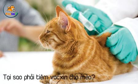 Tiêm ngừa cho mèo là điều cần thiết giúp mèo khỏe mạnh và phòng bệnh.