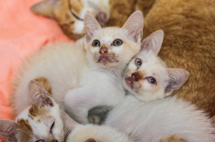 Nguyên nhân bệnh suy giảm bạch cầu ở mèo