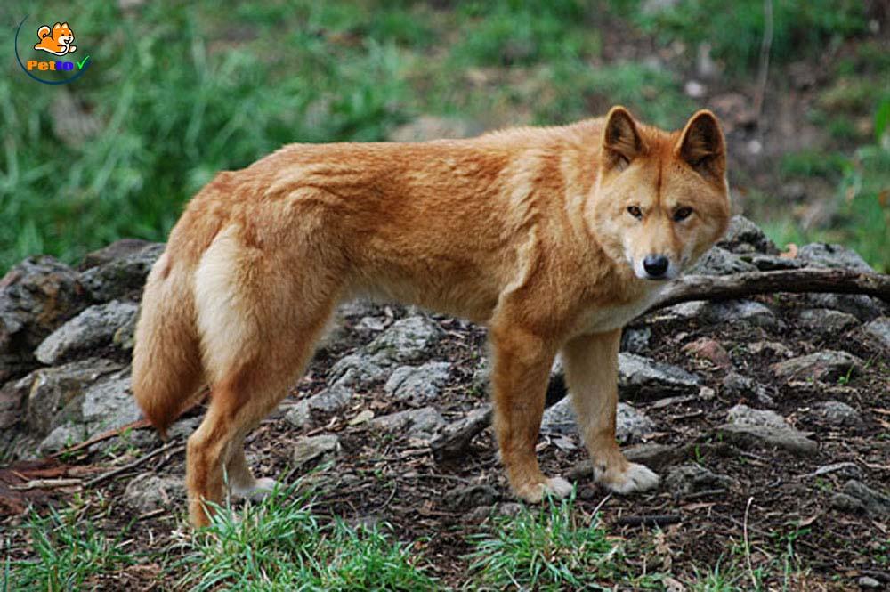 Hình ảnh thực của chó Lài.
