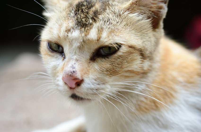 Mèo có biểu hiện loạng choạng, không còn giữ được thăng bằng, mặt lảo đảo